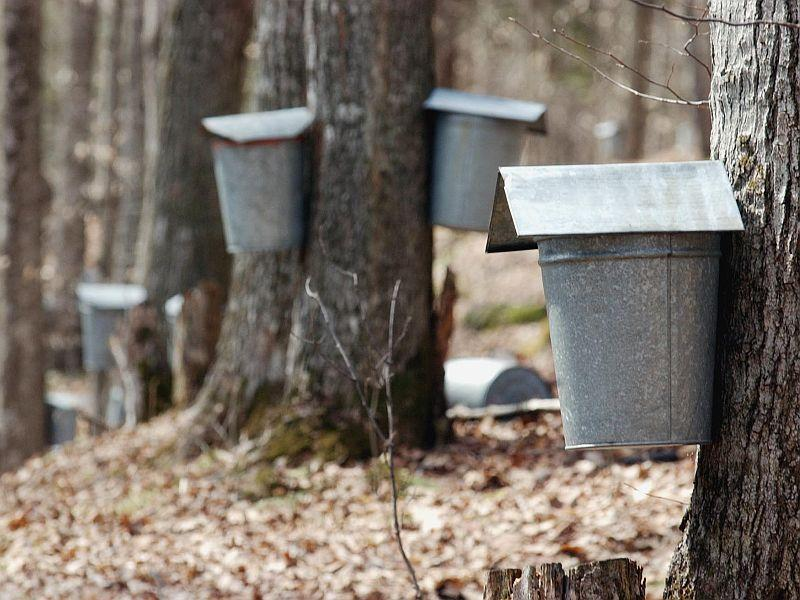 Many of the traditional sap buckets have been replaced by vacuum tube systems.