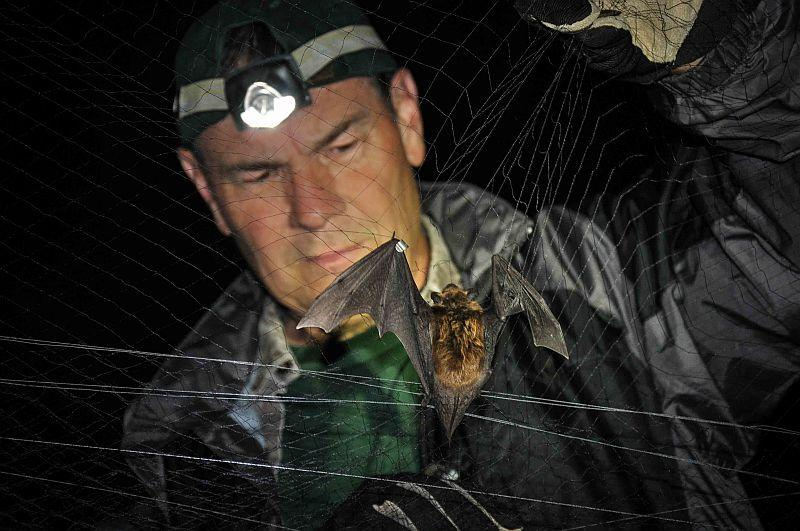 Fish & Wildlife Department biologist Scott Darling surveys a big brown bat captured in a mist net.  White-nose syndrome has caused the severe decline of several species of cave-roosting bats in Vermont since the disease first hit Vermont in 2008