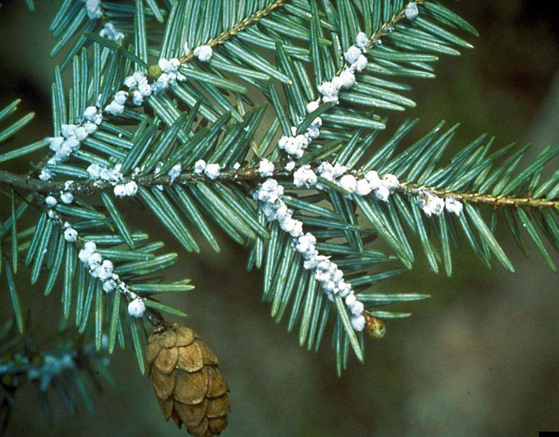 This is an undated photo of egg masses of the hemlock woolly adelgid.