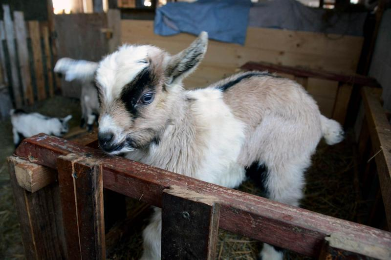 Goat meat, the most consumed meat in the world, is consumed primarily by ethnic populations in the United States. But Vermont's dairy goat meat model may scale up as more people develop a taste for the healthy, flavorful meat.