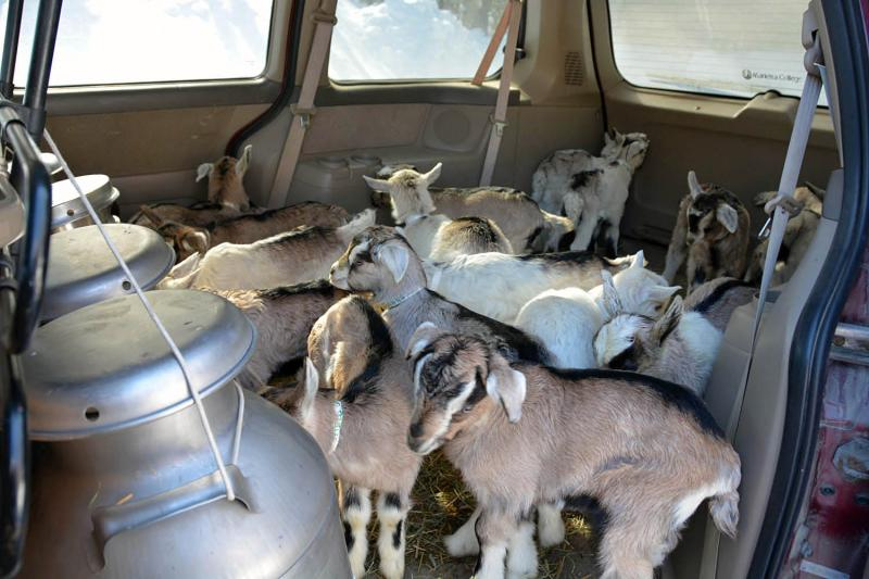 Goats are transported in a converted Honda Odyssey, lined with hay. Reid sends buckets of the bucklings' mothers' milk along, to help the kids transition.