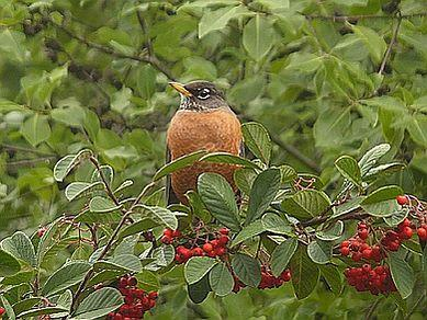 A robin on a berry-laden branch.