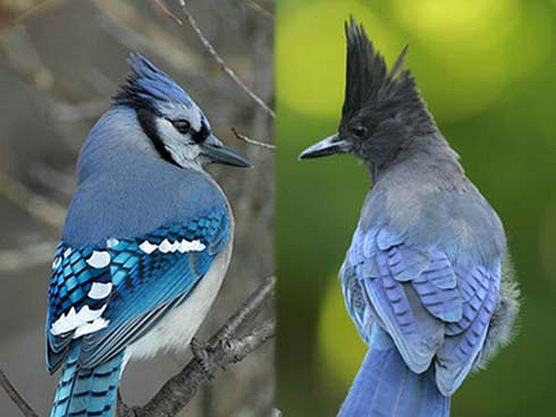 A pair of bluejays.