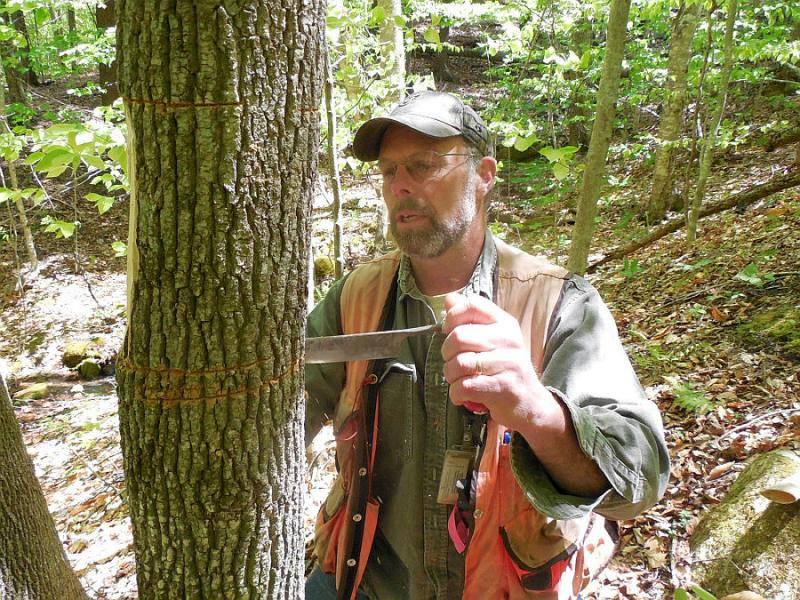 Forester Jim Esden girdles an ash to lure the insects.