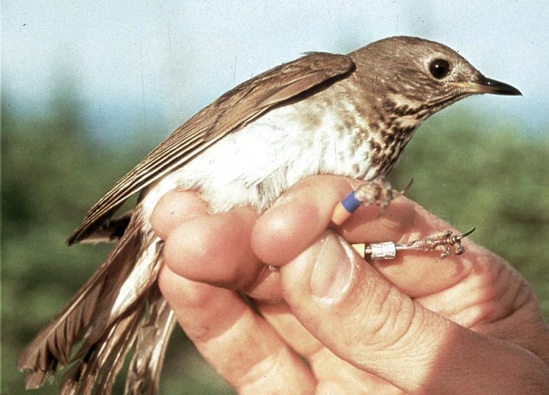 In this undated file photo provided by the Vermont Institute of Natural Science, a Bicknell's Thrush is held after being banded on top of Mt. Mansfield.
