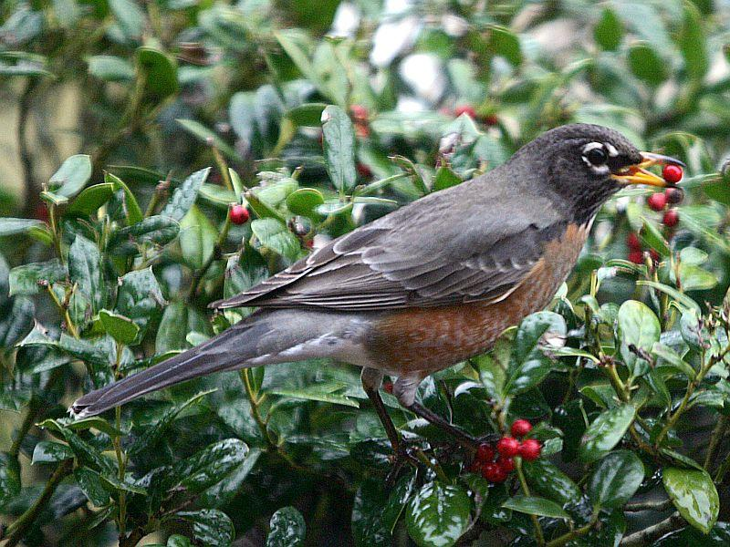An American robin, also known as a robin redbreast, grabs a berry.