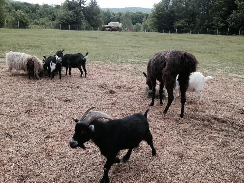 Rescued animals go out to pasture at the Elizabeth Brown Humane Society in Victory.