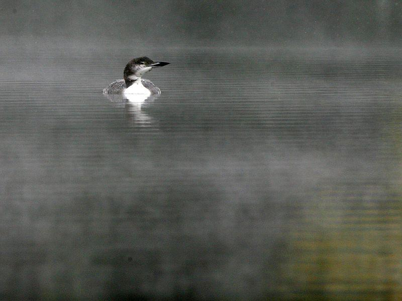 A lone loon relaxes on Curtis Pond in Calais.