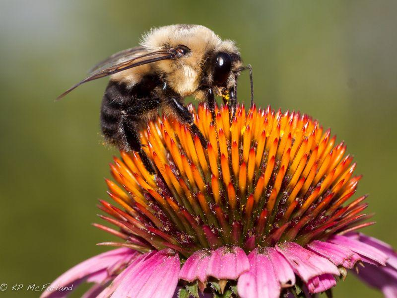 A Brown-belted Bumblebee is pollinating a coneflower.