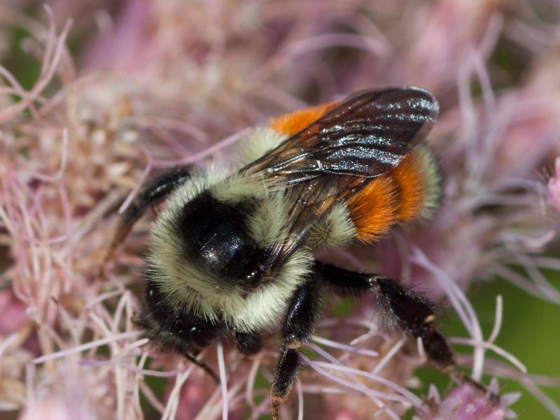 The Tri-colored Bumblebee is sometimes called the Orange-belted Bee