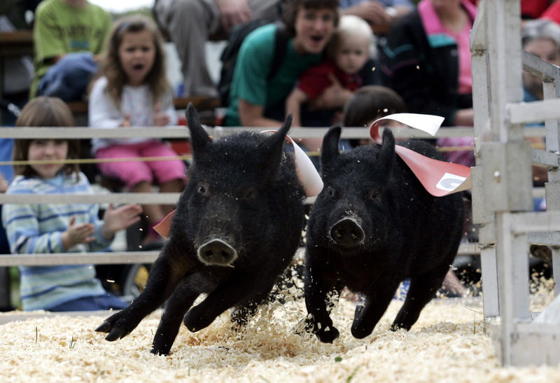 The crowd cheers as Rosaire's Royal Racers racing pigs sprint around the racetrack at the Tunbridge World's Fair in 2006.
