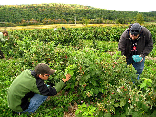 Picking raspberries in Monkton