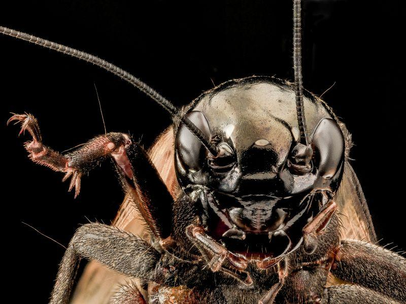 Gaze into the eyes of this Orthopteran!
