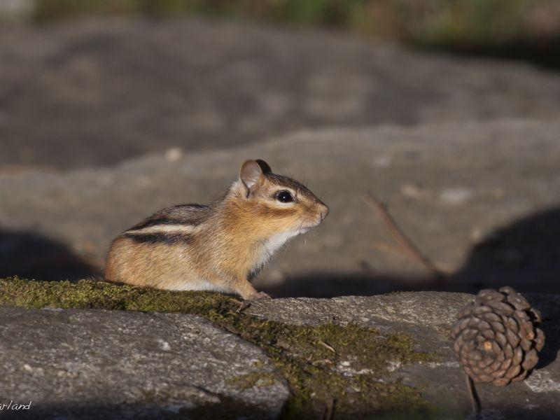 A chipmunk takes a break from gathering seeds
