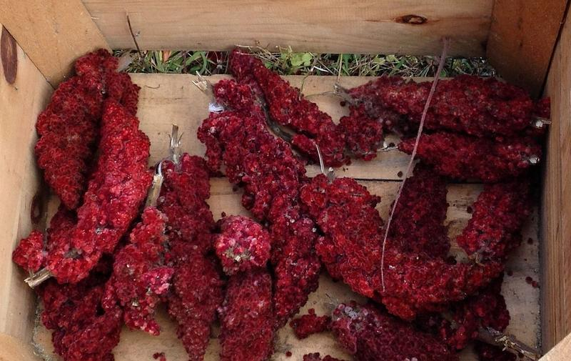 A box holds a few handfuls of harvested sumac drupes.