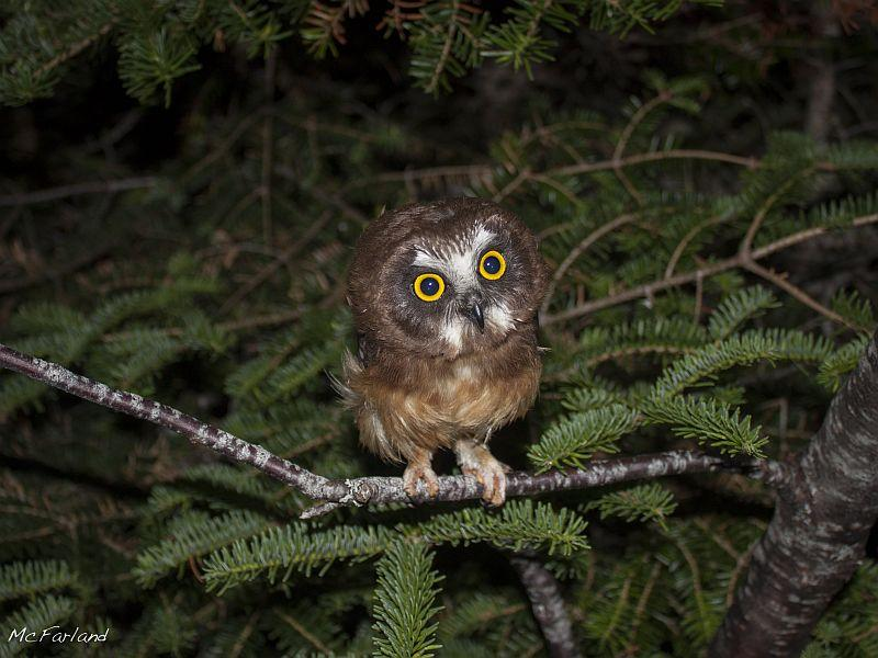 Kent McFarland banded this young Northern Saw-whet owl that recently left its nest on Mt. Mansfield during the summer.