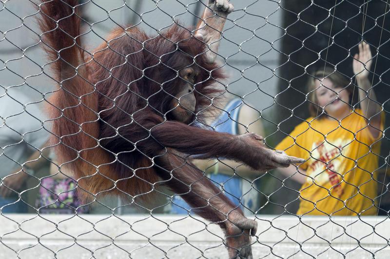 An orangutan begs for food at the Henry Doorly Zoo in Omaha, Nebraska in 2011.