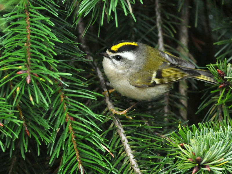 Golden-crowned kinglets, like the one pictured here, are the smallest birds to winter in the New England woods.