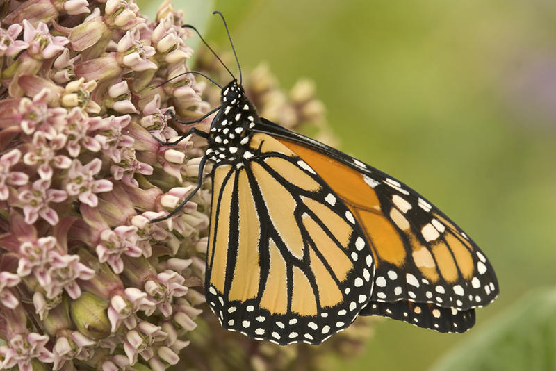 Monarch butterflies, like this one, are using the acres of milkweed flowers planted by Protec Style as breeding grounds. The company in Granby, Quebec, is using milkweed fibers for a variety of practical uses, including absorbing oil spills.