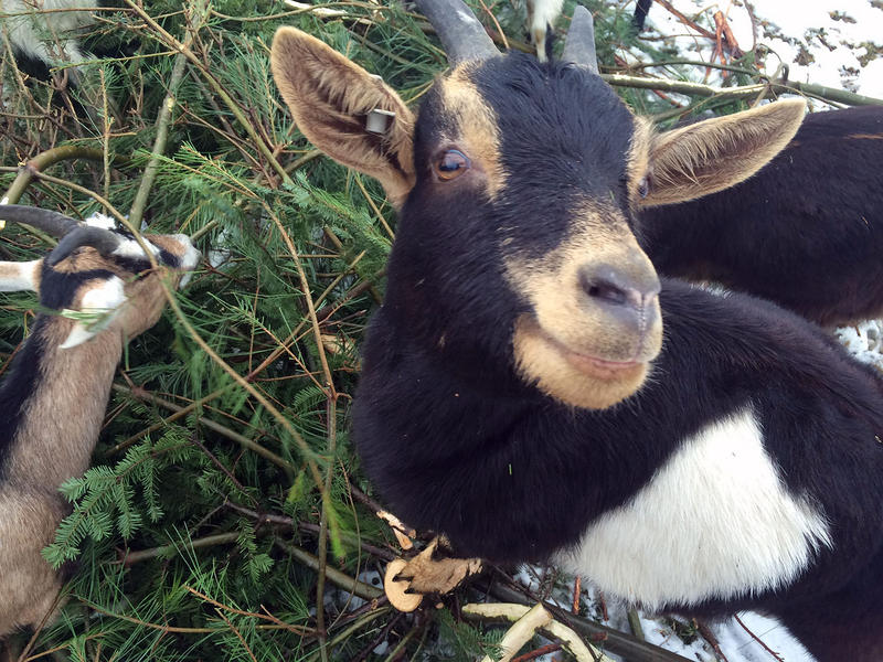 The Vermont Goat Collaborative on Pine Island Farm in Colchester has put out a call for unwanted Christmas trees to feed to its goats. Its first drop-off day was on Sunday, Jan. 4.