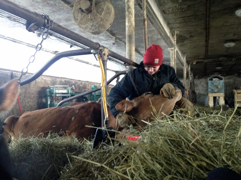 Nate Rogers sits with one of the Jersey cows that produce the raw milk he sells at Rogers Farmstead in Berlin. Producers of raw milk say it can help make a farm operation profitable, but say state regulations are hampering their ability to sell it.