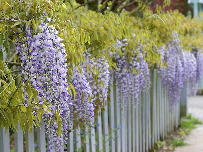Wisteria Vine Vermont Garden ...