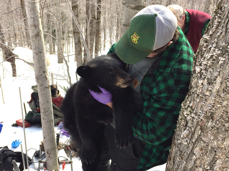 Vermont Fish and Wildlife specialist Ryan Smith holds a yearling cub he has sedated. Smith is part of a team researching the impact of wind turbines on bear habitat on Searsburg Mountain.