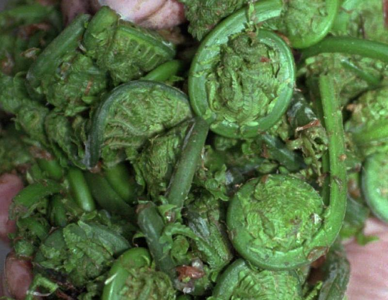 A big handful of fiddlehead ferns, picked near Bolton.