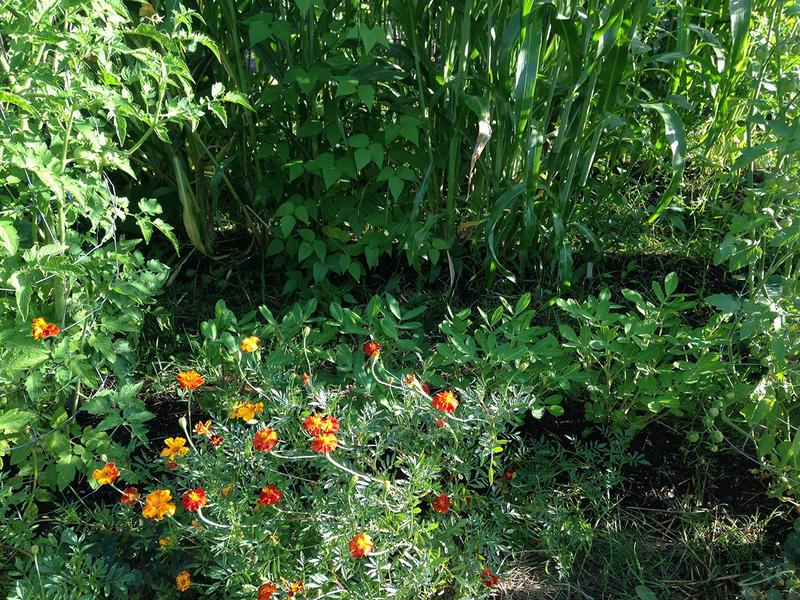 Vermont Garden Journal: Companion Planting For Pest Control