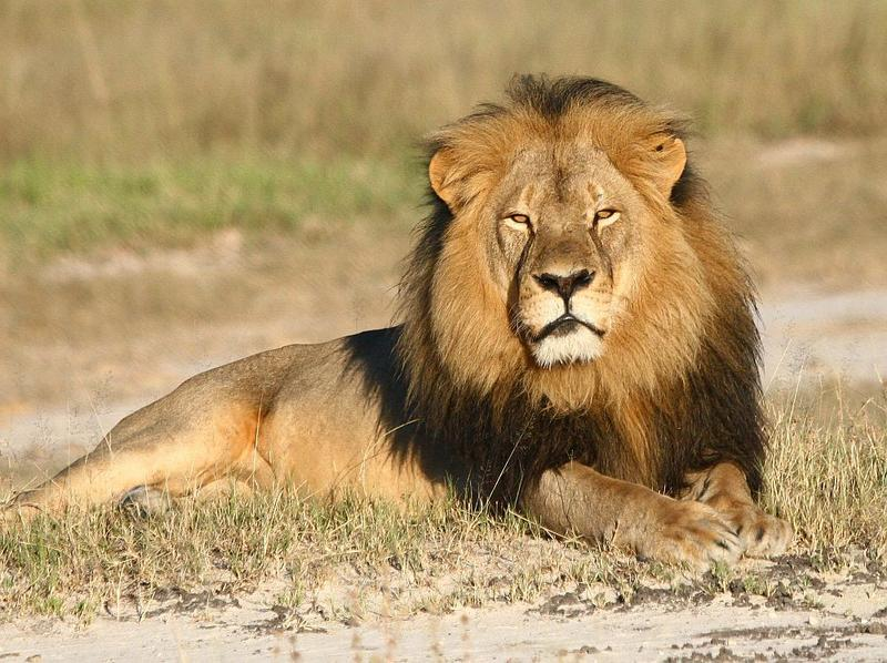 In this undated photo provided by the Wildlife Conservation Research Unit, Cecil the lion rests in Hwange National Park, in Hwange, Zimbabwe. Two Zimbabweans arrested for illegally hunting a lion appeared in court Wednesday, July 29, 2015.