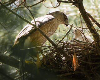 Cooper's Hawk and Chick