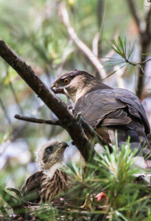 Cooper's Hawk and Older Chick