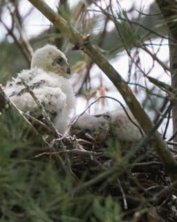 Cooper's Hawk Chicks