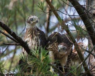 Cooper's Hawk Juveniles
