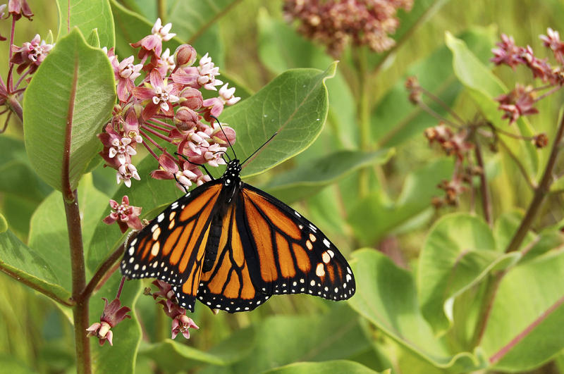 Vermont's meadows have a healthy milkweed population, and this critical food source for monarchs could help maintain the population, according to state biologist Mark Ferguson.