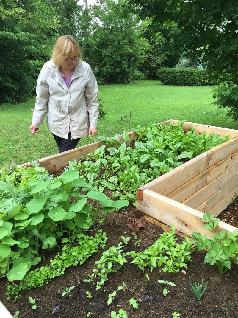 Linda Michniewicz thins out some fo the arugala and lettuce at the NEKCA Head Start employee garden in Barton.