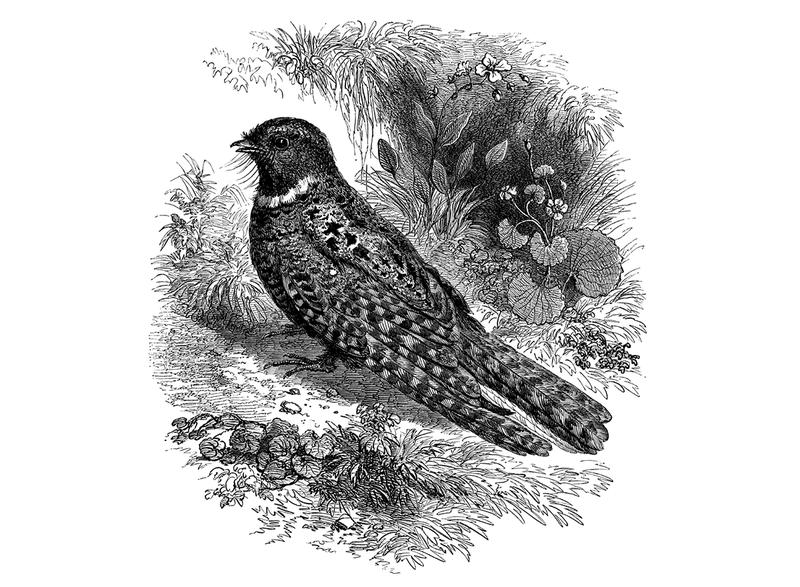 The whip-poor-will is a threatened species in Vermont, due in part to the decline of habitat that best suits these nocturnal birds.