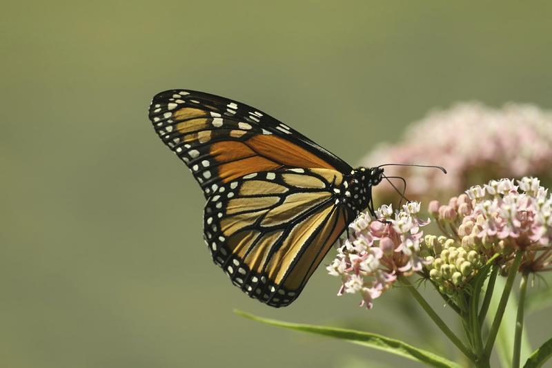 Native to Vermont, the milkweed plant has found use in both industrial and native settings.