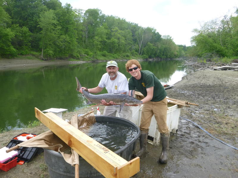 Chet MacKenzie (left) and Tyler Brown carefully hold up a sturgeon caught on the Winooski River.