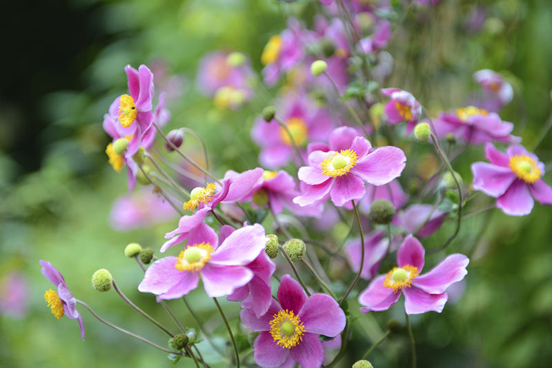 Vermont garden journal filling in the late summer color gap with japanese anemones quickly became a favorite in the west for their attractive dark green foliage and mightylinksfo