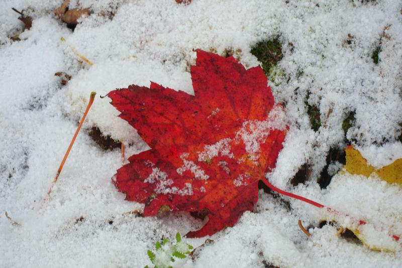A Red Maple Leave in the snow at Underhill State Park.