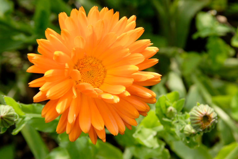The new Vermont Herb Growers Cooperative wants to grow calendula, dandelion and other well-known herbs that can be used for medicinal purposes.