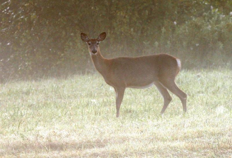 After Quebec confirmed its first-ever case of chronic wasting disease earlier this month, wildlife officials say they're working to make sure the disease doesn't spread to the deer herd in Vermont.