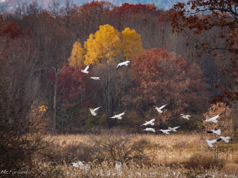The foliage at Dead Creek provides a colorful contrast to the snow geese.