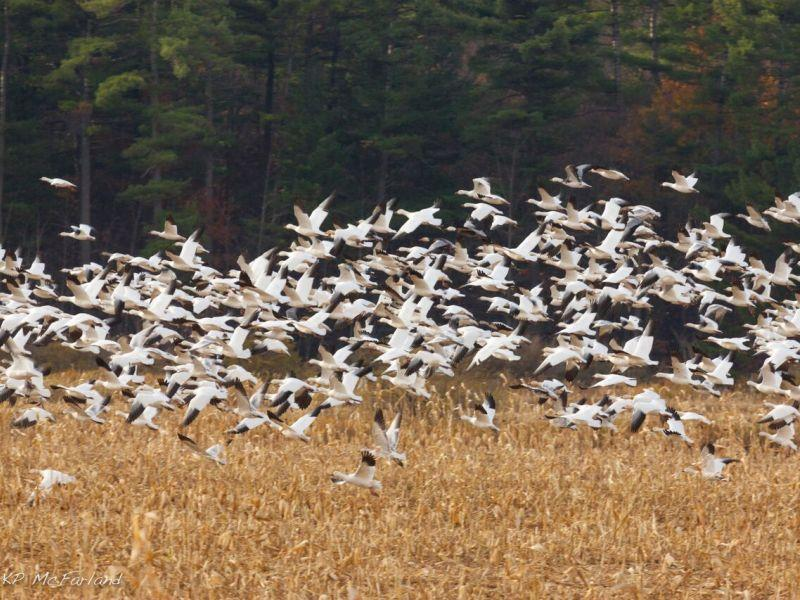 Snow geese are a major attraction for bird watchers at Dead Creek Wildlife Management Area.