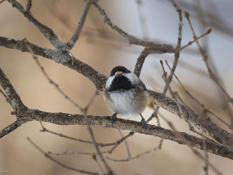 A Black Capped Chickadee vists Kent McFarland's back yard.