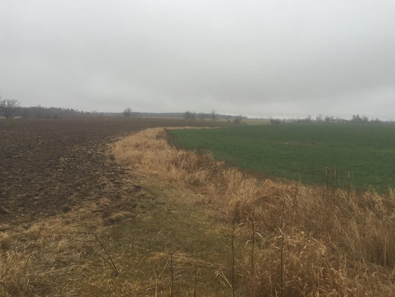 A field of winter rye next to a corn field without cover crops in Bridport. Fields like these will become an increasingly rare sight in Vermont as farmers embrace winter cover crops.