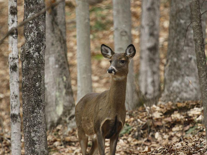 This is one of several White-tailed Deer that Kent McFarland and Sara Zahendra saw in a deer yard in Norwich.