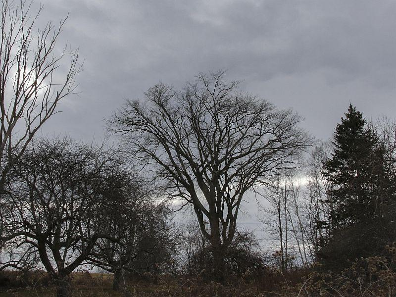 "The old and healthy ""Plainfield Elm"" was likely planted over 100 years ago."