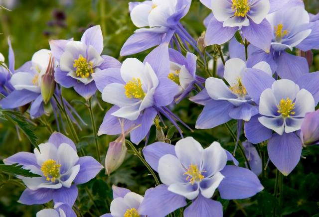 Vermont garden journal planting columbines vermont public radio columbine is a perennial flower it is a tough plant and it usually grows one to two feet tall mightylinksfo